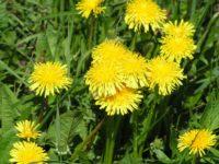 Одуванчик внесен в список салатных растений многих стран мира и выращивается вместе с другими овощами.
